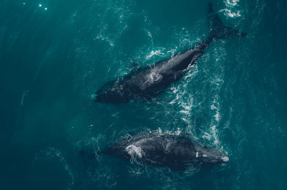 2018 | Southern Right Whales | Plettenberg Bay