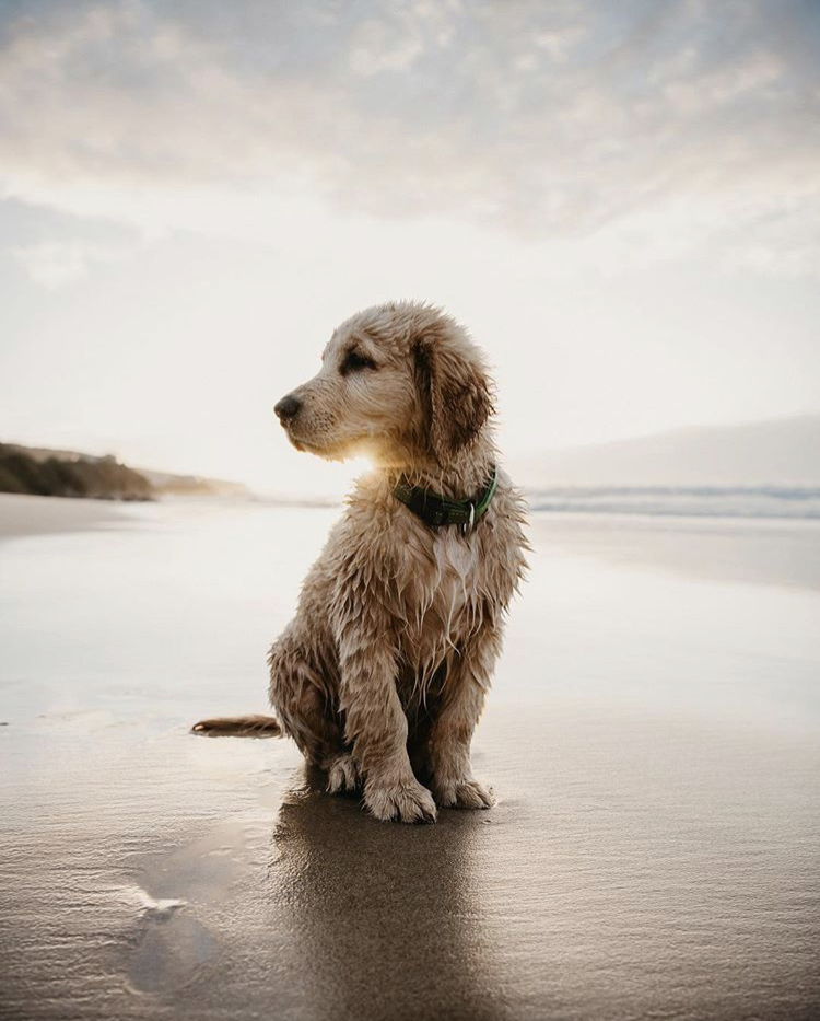 Golden Retriever Puppy by Garden Route Photographer Sharyn Hodges